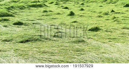 green rice field after storm passed in Thailand
