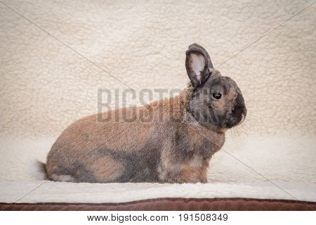Decorative brown adult rabbit sitting on a bright blanket and looking forward