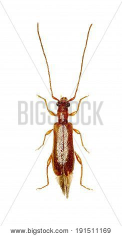 Brown Longhorn Beetle Obrium on white Background - Obrium brunneum (Fabricius 1792)