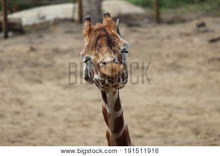 Giraffe shaking his head - Giraf schudt zijn hoofd