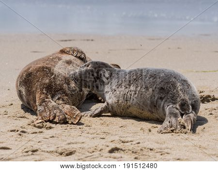 Young Seal Pup Nurses While Mother Sleeps