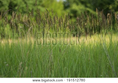 Close-up of the tops of summer green grass background