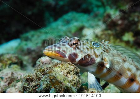 Latticed sandperch is lying on a piece of coral waiting for a haul, Panglao, Philippines