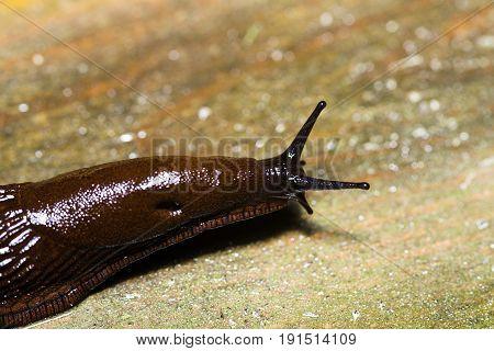 Spanish Slug (arion Vulgaris) On Wood