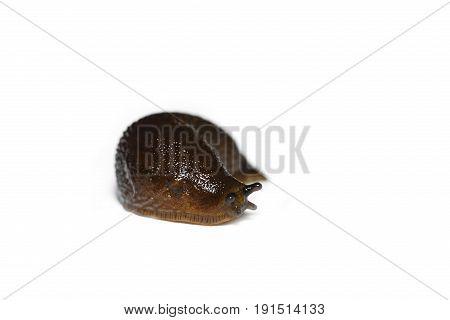 Spanish Slug (arion Vulgaris) Isolated On White Background