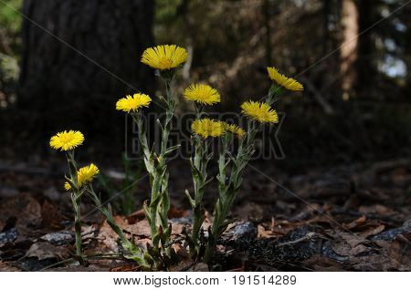 A group of blooming coltsfoot flowers in their natural environment Puumala region Finland