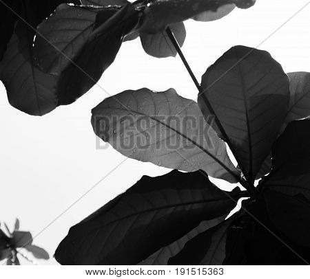 BLACK AND WHITE PHOTO OF RAINDROPS ON LEAVES UNDER SUNLIGHT