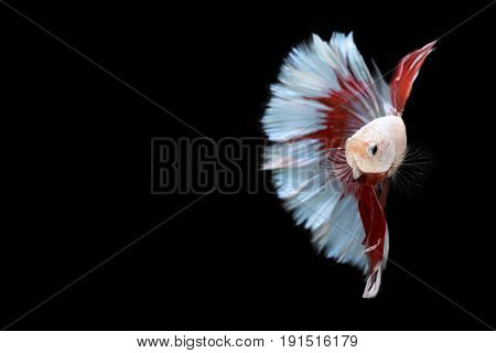 Half red and blue Betta Siamese fighting fish, Betta splendens Pla-kad ( biting fish ) of Thailand, swimming motion on black isolated background