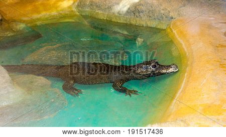 African Dwarf Crocodile cooling in a small water pond West and Central Africa