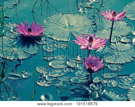 water lilies in a pond . various views