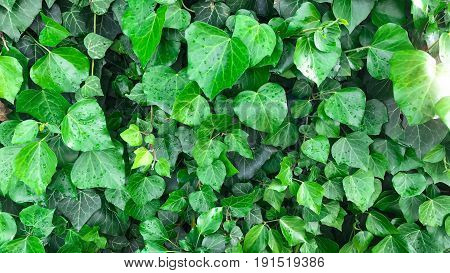 American Ivy colored green & garden ivy