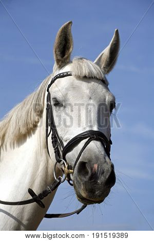Head shot of a beautiful purebred show jumper horse against natural blue sky background