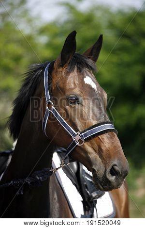 Head shot of a beautiful purebred show jumper horse