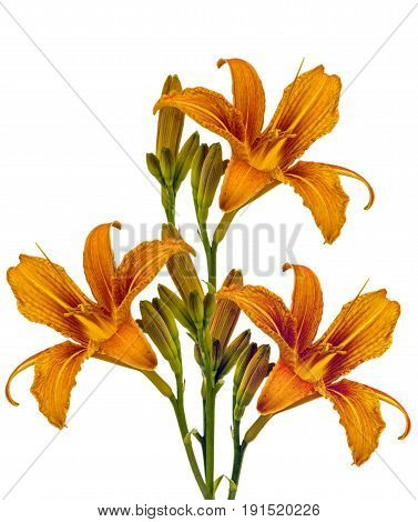 view of three orange one day lilies on a white background