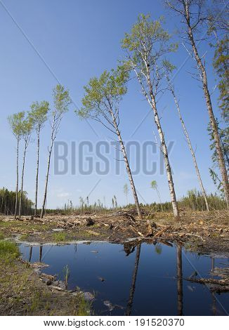 Few remaining trees after a logging operation in Saskatchewan Canada