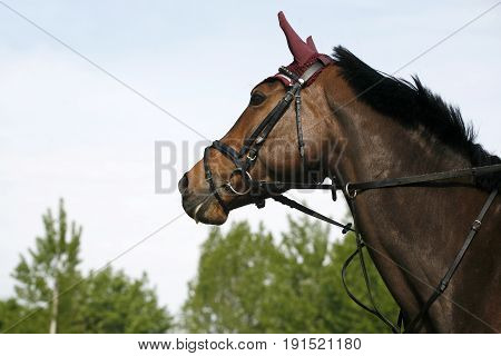 Side view portrait closeup of a beautiful show jumper horse's head in action