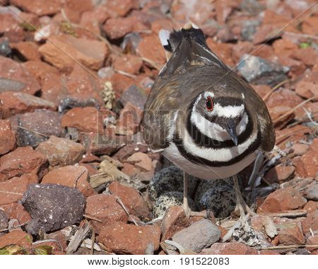 Wild killdeer standing over its nest with eggs