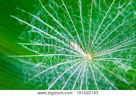 Dry white dandelion seed with green foliage background macro photography detail structure