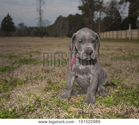 Great Dane purebred puppy on a field just after sunset
