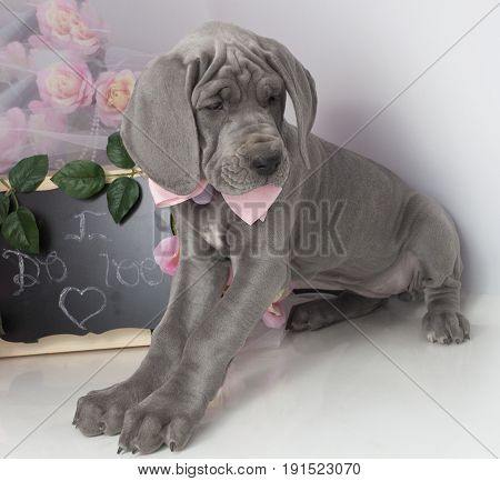 Great Dane purebred puppy with a chalkboard that says I do too