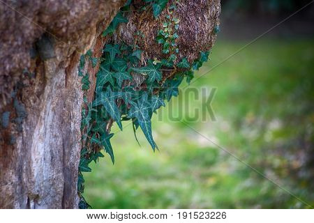 Dangling ivy on the trunk of an old tree on blurred green background