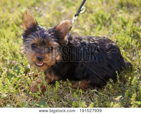 Young Yorkie puppy on a leash in the grass
