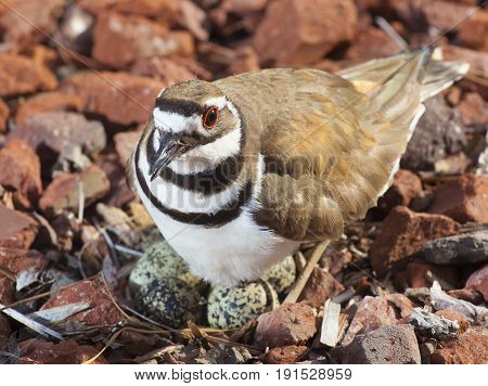 Killdeer standing over its eggs and nest on red rocks