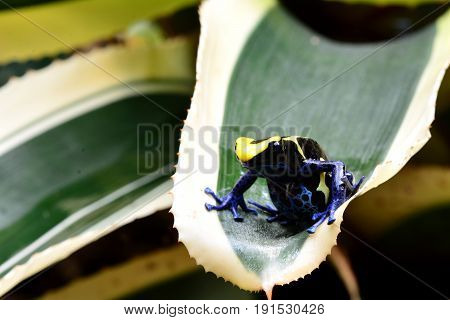 A poison dart frog sits on a plant frond in its environment.