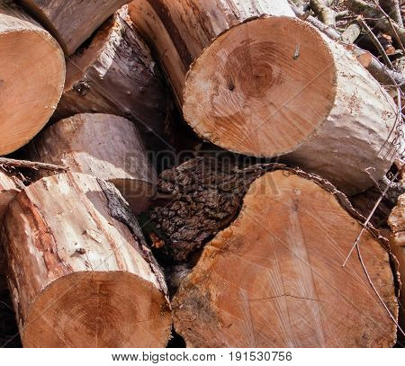 End Of Cut Pine Logs In A Stacked Pile with Saw marks