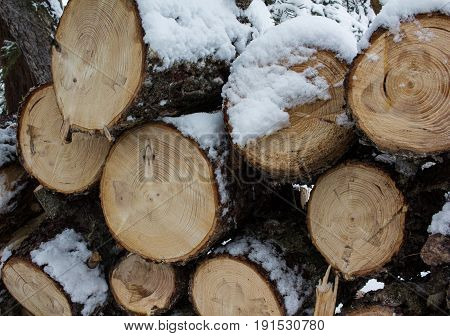 Fresh cut pine logs with distinct saw marks and lots of clearly shown rings with snow covering and dripping sap