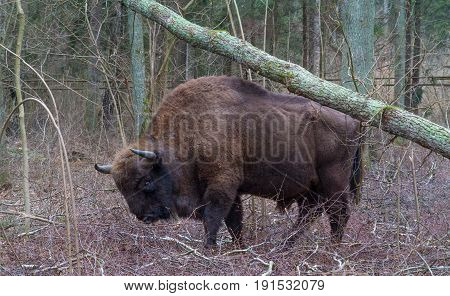 European Bison bulls walging among deciduous trees in springtime, Podlasie Poland, Europe