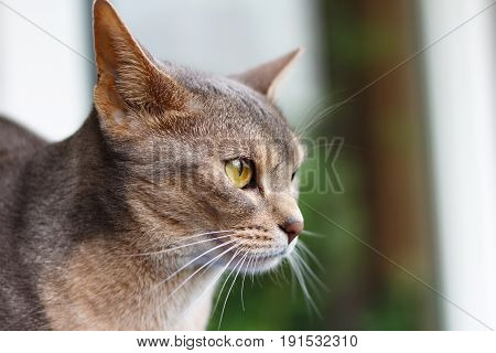 Abyssinian Cat Looking Out The Window Closeup
