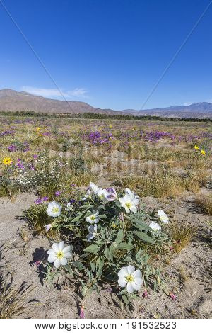 Desert Primrose And Other Wildflowers Blooming In Anza-borrego Desert State Park, California