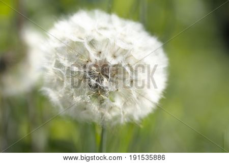 blowball close up