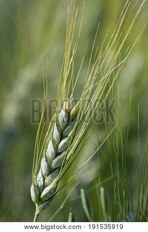 Wheal close up