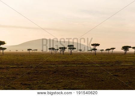nature, landscape and wildlife concept - acacia trees in maasai mara national reserve savannah at africa