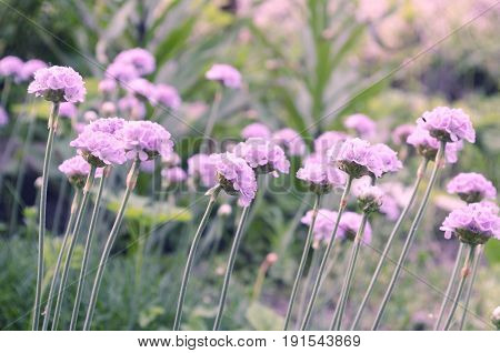 Sea thrift -Armeria maritima flowers blooming in a meadow.