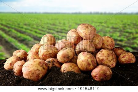 Fresh potatoes on ground and field with plants on background