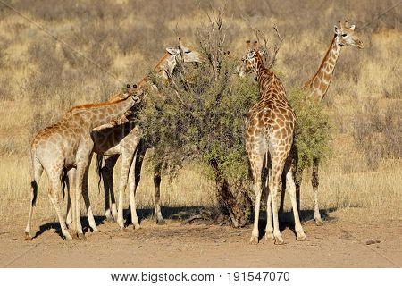 Giraffes (Giraffa camelopardalis) feeding on a thorn tree, Kalahari desert, South Africa