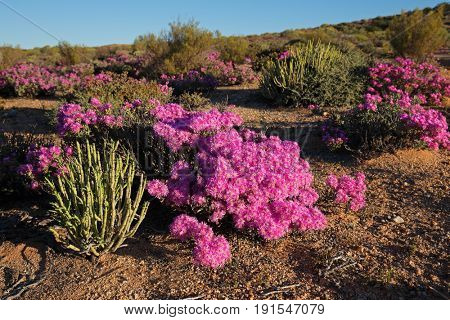 Brightly colored wild flowers, Namaqualand, Northern Cape, South Africa