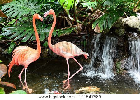 A pair of flamingos wade in the water by a waterfall.