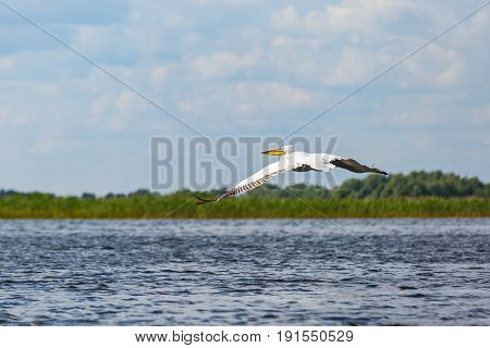 Landscape photo of flying white pelican in Danube Delta