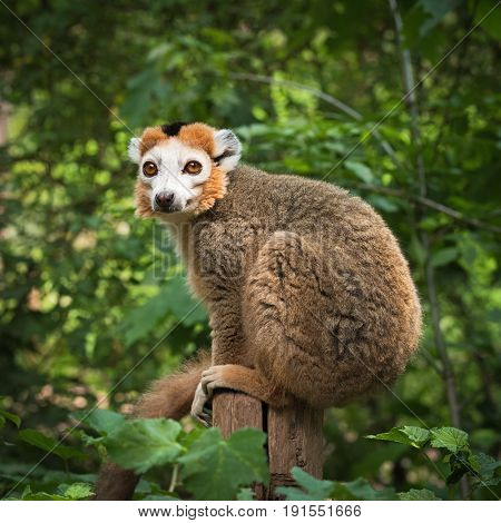 Portret of an adult male  crowned lemur (Eulemur coronatus) siting on a wooden post
