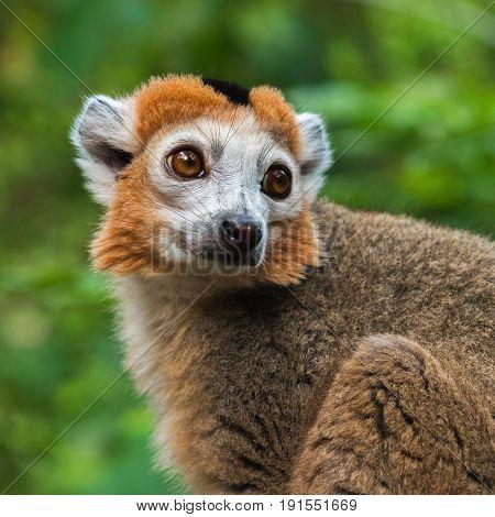 Portrait of an adult male  crowned lemur (Eulemur coronatus)