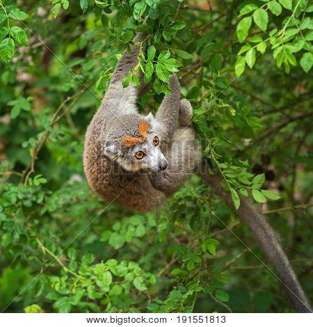 Adult female  crowned lemur (Eulemur coronatus) on a tree