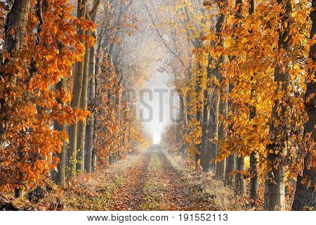 A lane with fallen leaves on the ground bordered by trees in autumn colors showing great perspective and ending in the fog.