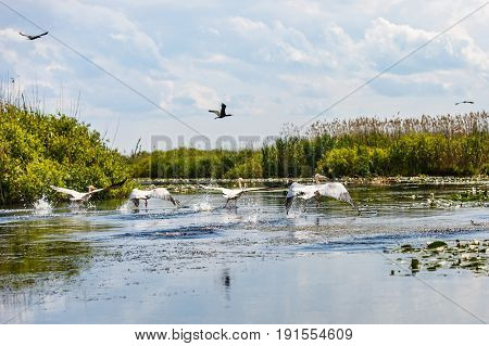 Beautiful landscape photo of flying birds and aquatic plants in Danube Delta