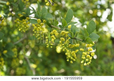 Branch of blooming barberry. Branch of blooming barberry