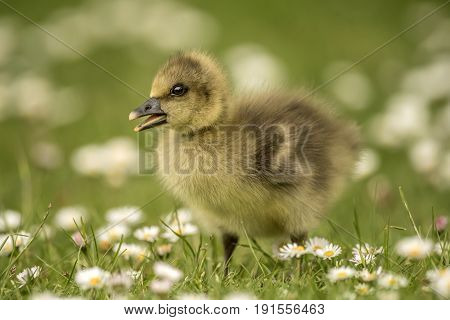 Greylag Gosling, Close Up On Grass Covered With Daisies