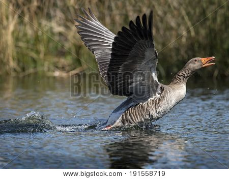 Greylag Goose Displaying On A Scottish Loch